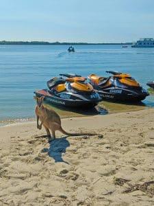 Kangaroo encounter on Gold Coast Beach